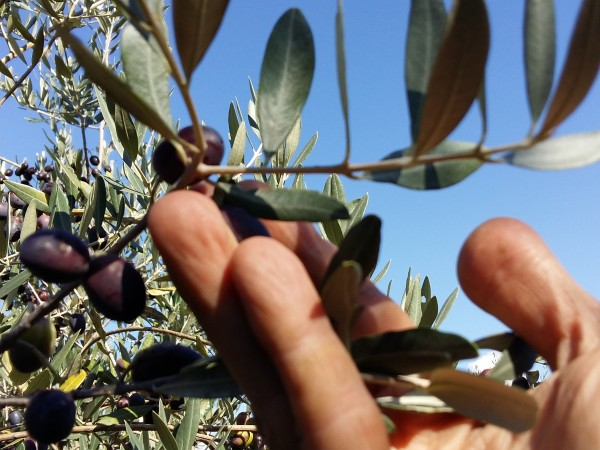 Olive Harvest in Italy